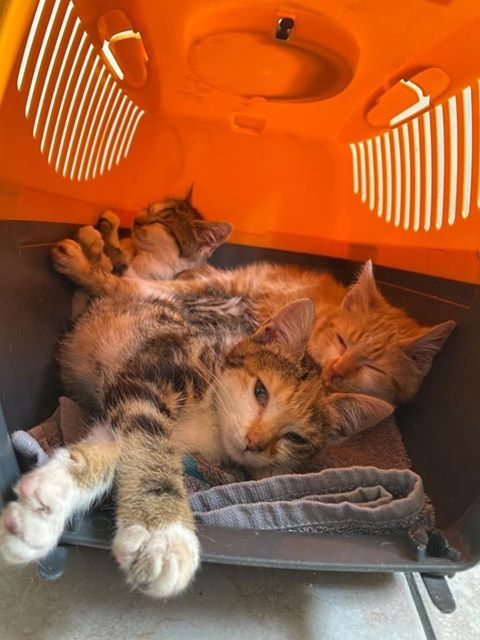 Paprika - Adopter un chat – Ile de France