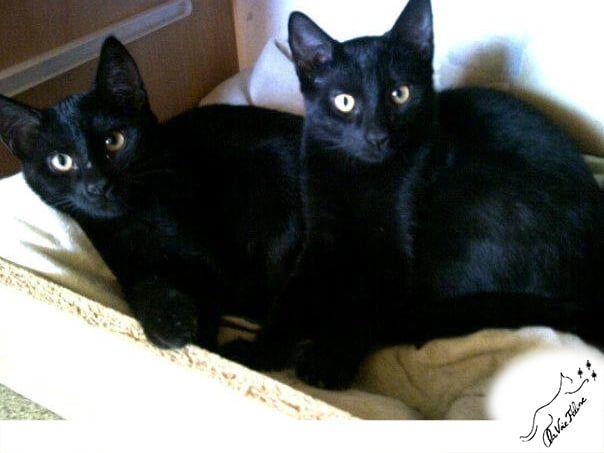 Orphée et Cassiopée - Adopter un chat – Ile de France