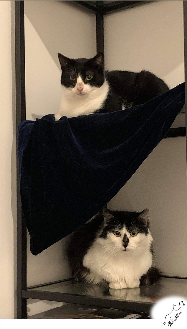 Sherlock et Watson - Adopter un chat – Ile de France