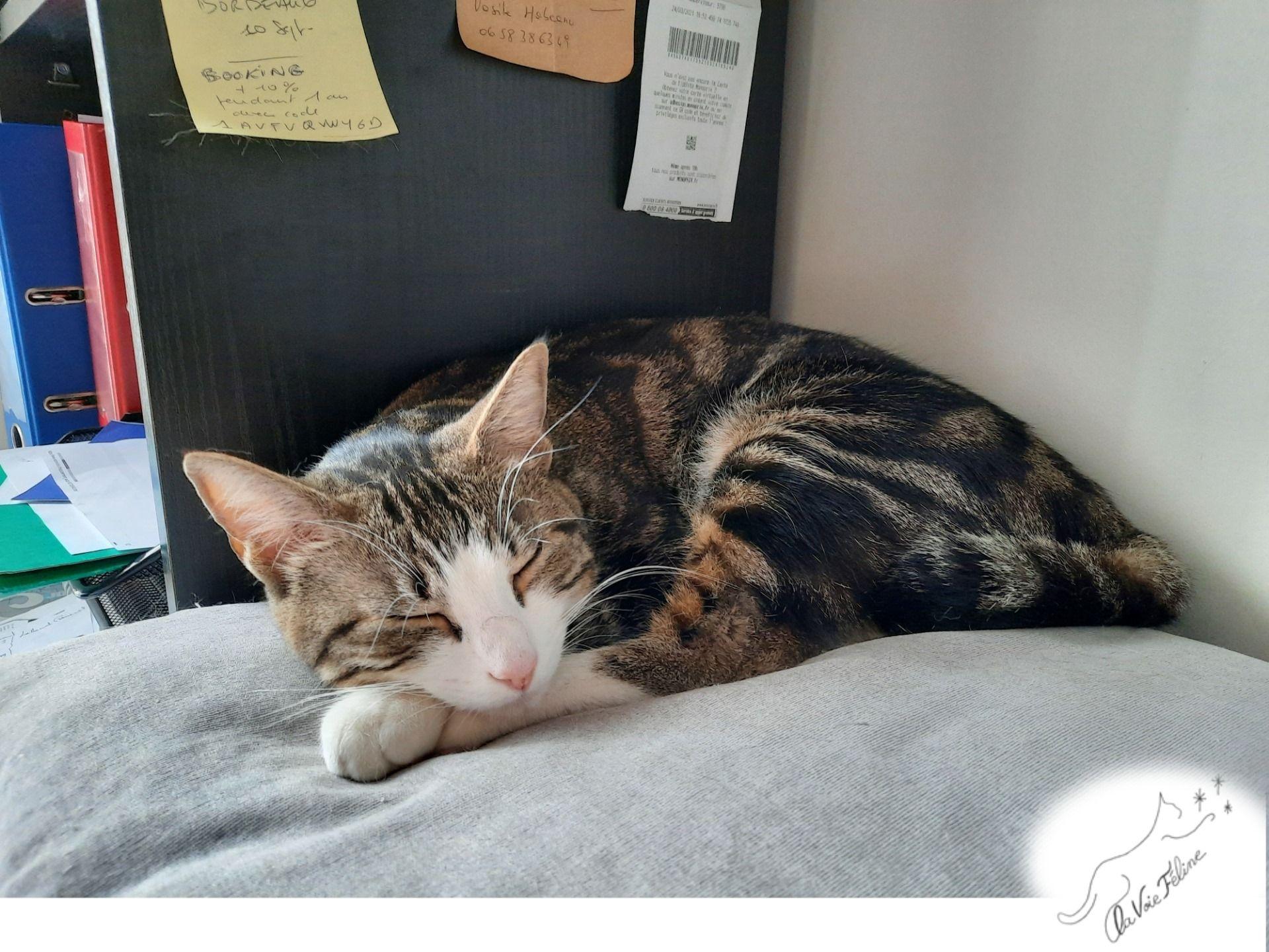 Pepsy - Adopter un chat – Ile de France