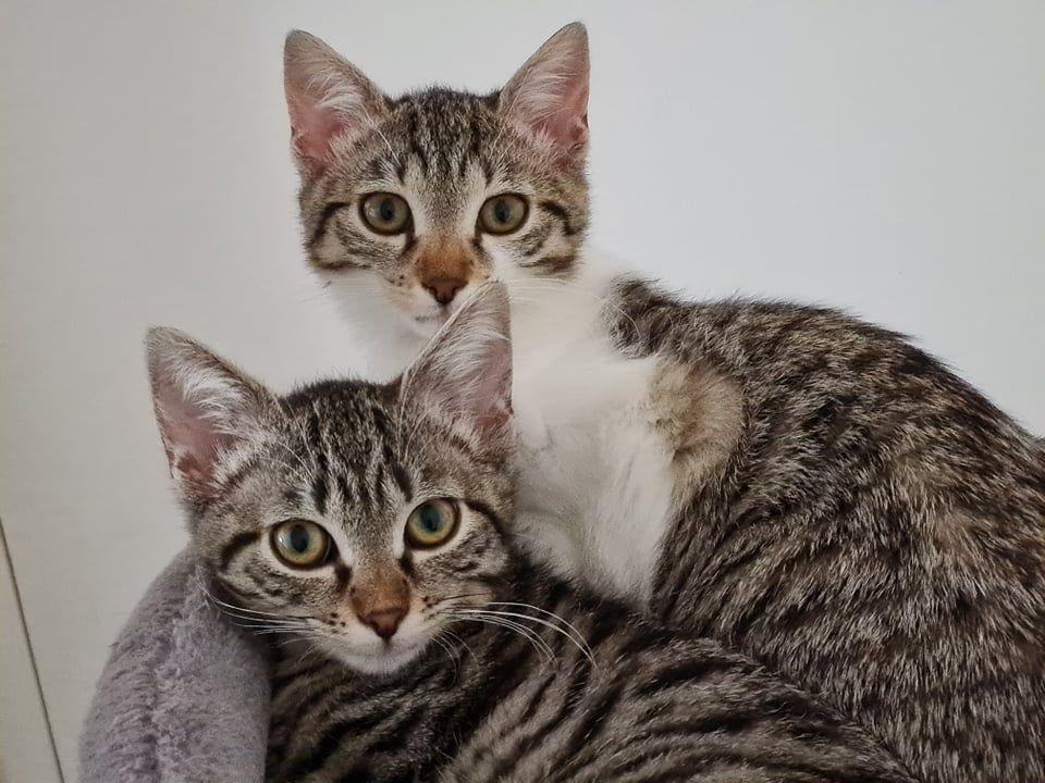 SHIRLEY et TWIGGY - Adopter un chat – Ile de France