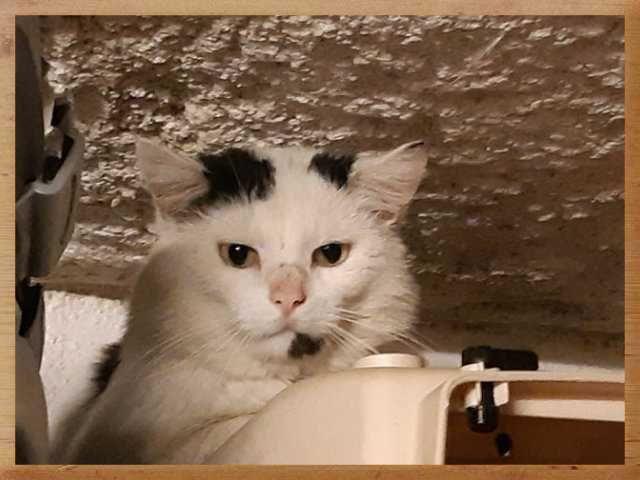 Ferdinand - Adopter un chat – Ile de France