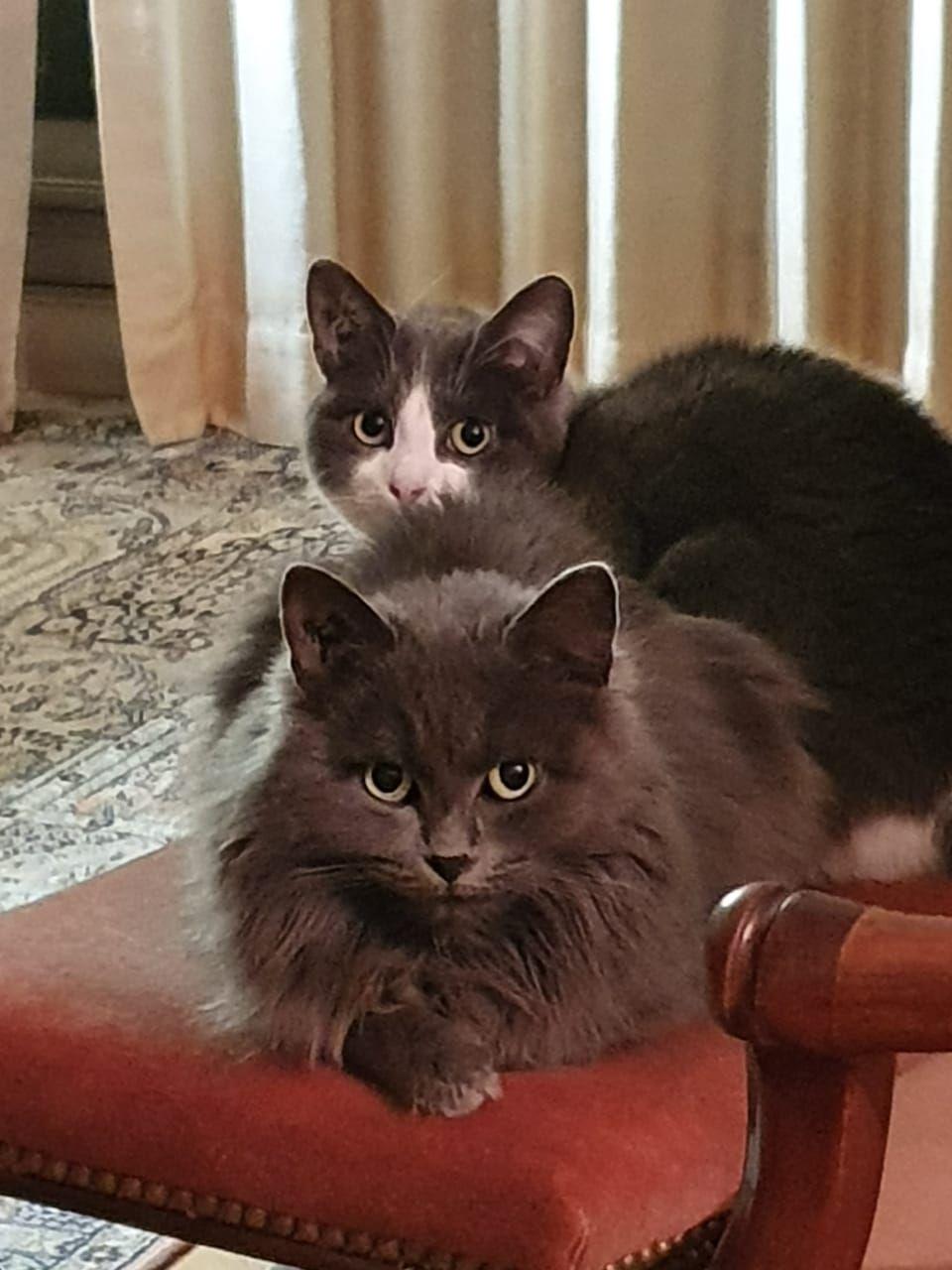 Marie Augustine et Marie Françoise  - Adopter un chat – Ile de France