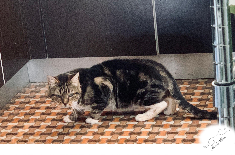 Cesar - Adopter un chat – Ile de France