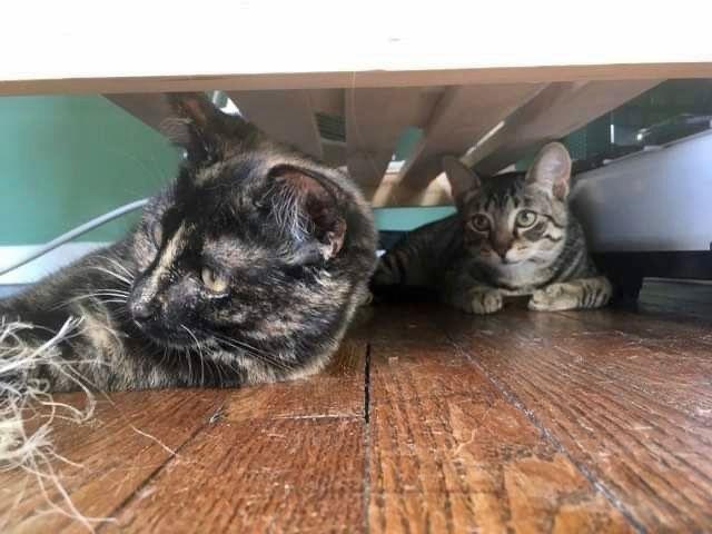 Renoir et Frida - Adopter un chat – Ile de France