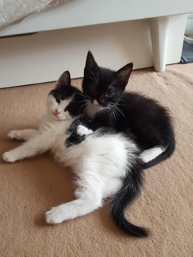 Berlioz et Léopard - Adopter un chat – Ile de France