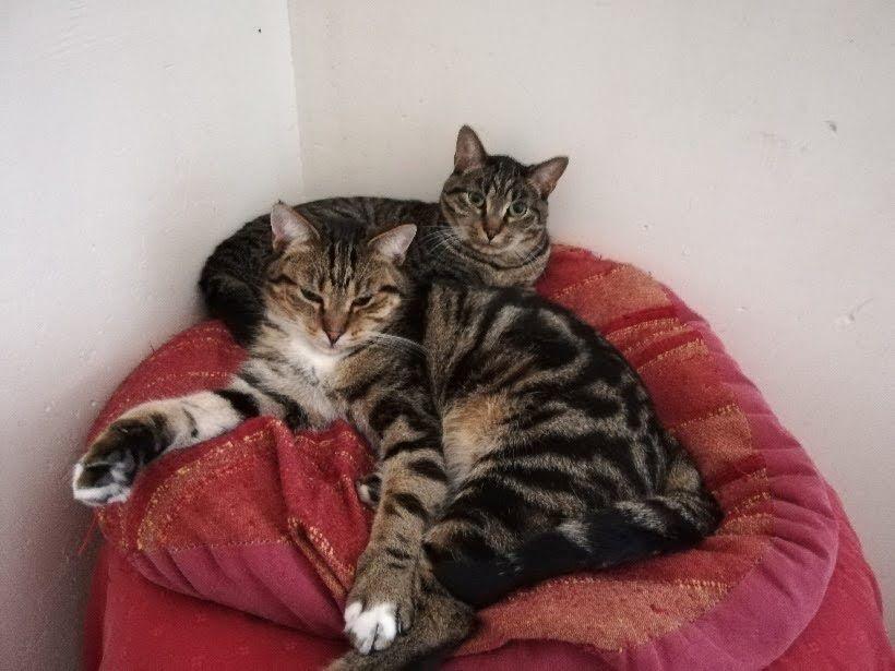 Titus et Tigrou - Adopter un chat – Ile de France