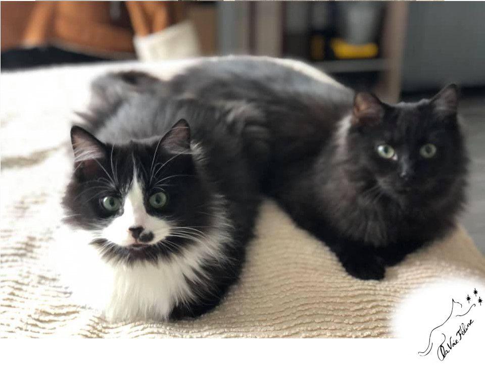 Chapi et Chapo - Adopter un chat – Ile de France